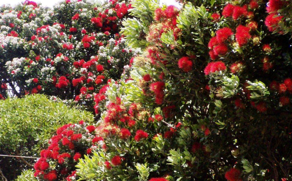 ニュージーランドのポフツカワの木