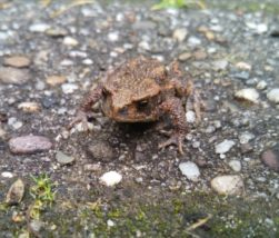 Toad ヒキガエル