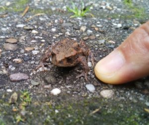 Toad (ヒキガエル)